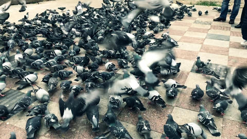 hundreds of flying and eating pigeons, 120 fps super slow motion Live Action