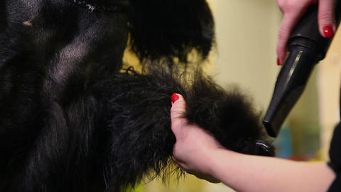 Close-up of the groomer's hand dries the dog's paw Footage