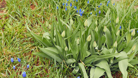 Tulips with unrevealed buds Footage