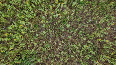Flying over the field of sunflowers. Autumn. Russia, From Dron Footage