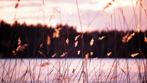 Reeds swaying in sunset by a frozen lake Footage