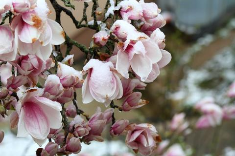 Snow on beautiful magnolia flowers in the spring season Fotografía