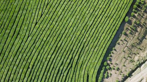 Flight over tea plantation. Krasnodar, Sochi, Russia, From Dron, HEAD OVER SHOT Footage