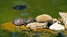 Pond Green Turtles Close Up Footage