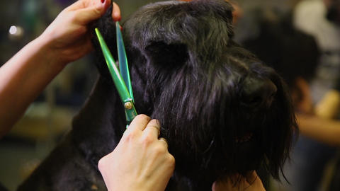 In the beauty salon for dogs, two women groomers prepare the dog for the ビデオ