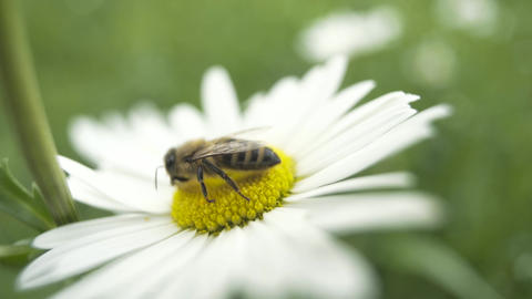 Honey bee sitting on a white daisy flower Footage