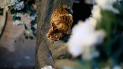 Bengal cat with green eyes climbing tree Live Action