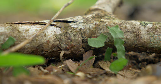 Leafcutter Ants, Costa Rica Footage