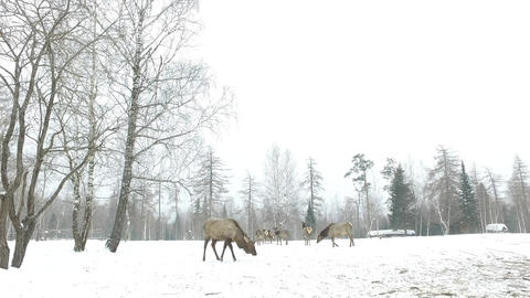Marals on the field in winter Footage