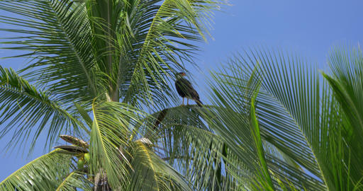 Red-Throated Caracara Sitting On A Palm, Costa Rica Live Action