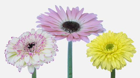 Time-lapse of opening gerbera flowers with ALPHA channel, 4K 영상물