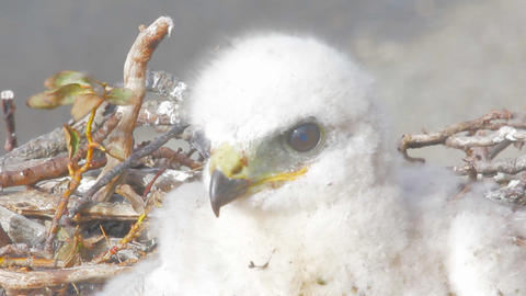 white fluffy nestling birds of prey Footage