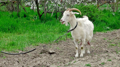 Goat on green meadow (life sound) Footage