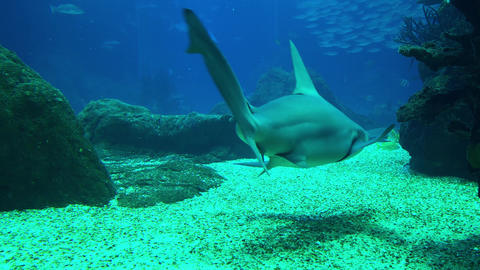 Underwater shot of approaching Grey Reef Shark, coral reef environment Image