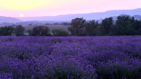 lavender plantation Archivo