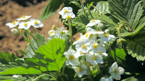 Strawberry blossoms in the garden Footage