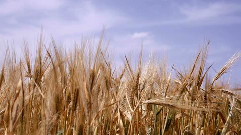 Ripe wheat Footage