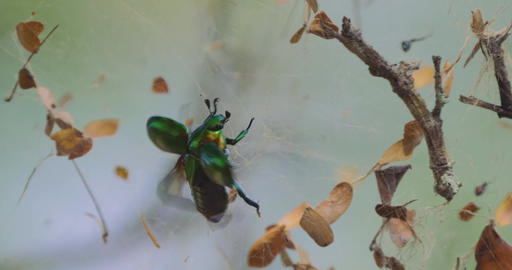 Scarab Beetle Struggling In A Spiders Net, Costa Rica 영상물