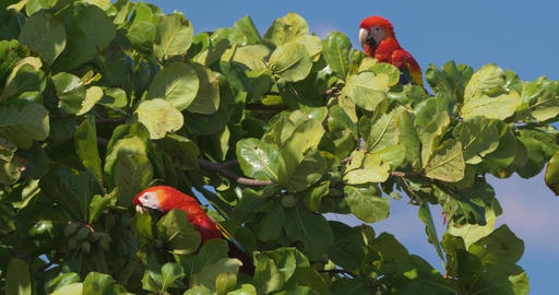 Pair Of Scarlet Macaws Sitting On A Tree, Costa Rica Footage