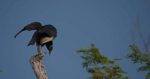 Observing Black Vulture On A Tree, Costa Rica Live Action