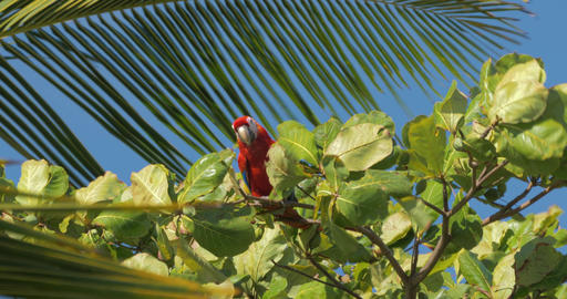 Scarlet Macaw On A Tree, Flying Away, Costa Rica Live Action