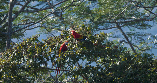 Pair Of Scarlet Macaws Sitting On A Tree, Costa Rica Live Action