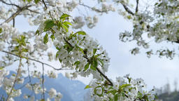 Cherry Blossom in Spring Footage