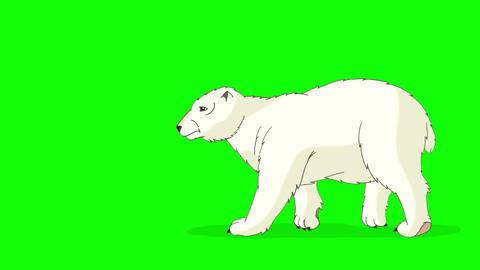 Polar Bear Walks Chroma Animation