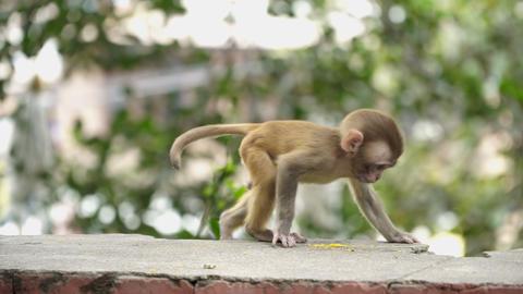 Monkey cub on a brick wall Footage