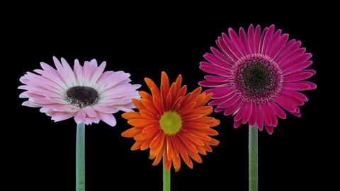 Time-lapse of opening gerbera flowers in RGB + ALPHA matte format 画像