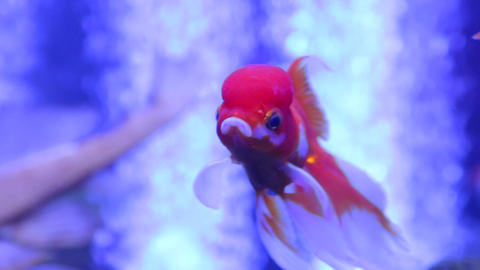 Goldfish Oranda Ranchu Exotic Footage