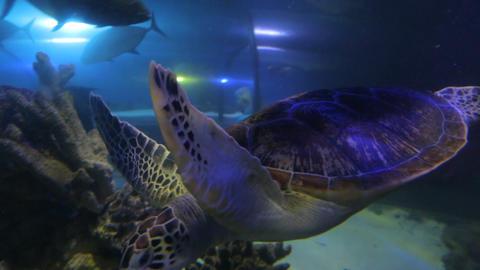 Large Brown Sea Turtle Image