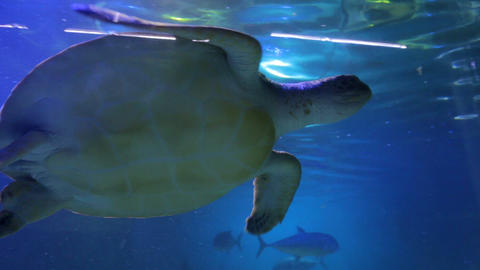 THe Sea Turtle Swims Footage