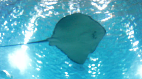 Footage of stingrays, sharks and fishes swimming in big aquarium at zoo Footage