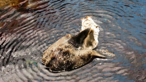 Video f beautiful otter swimming on her back Footage