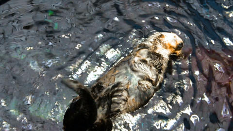 Footage o otter swimming on back in water at zoo Footage