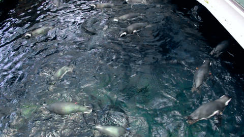 Big group of penguins swimming in water at zoo Footage
