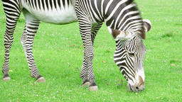 Close up of african zebra in savannah. Zebra eating green grass in national park 영상물
