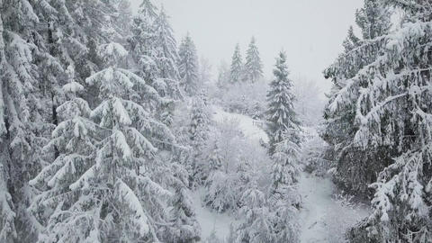 Flight over snowstorm in a snowy mountain coniferous forest, uncomfortable Footage