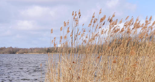 Close-up reeds in a lake moved by storm Archivo