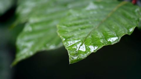 leaves macro rain drop Footage