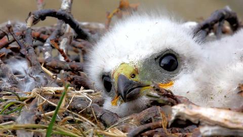 white fluffy nestling birds of prey Live Action