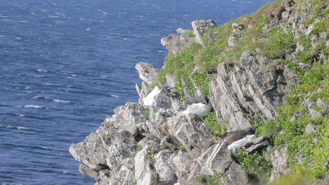 Strong wind on steep shore of Barents sea and brunnich's guillemots hide Live Action