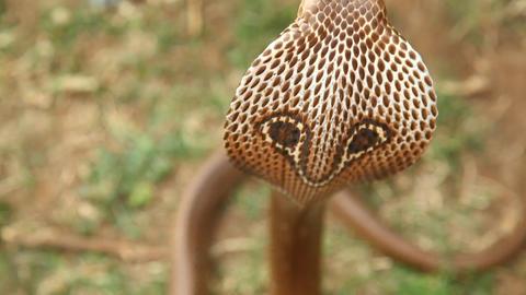 snake cobra close up Live Action