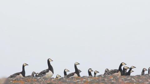 caravan of very beautiful wild geese with goslings moves through camera Footage
