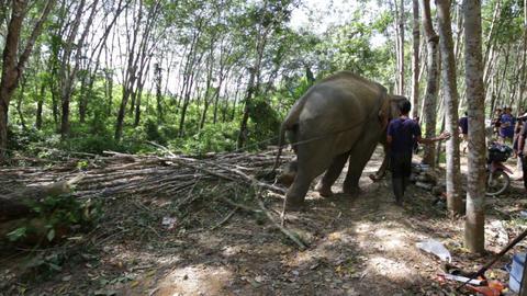 Elephant pulling a full tree Footage