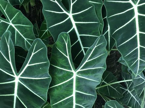 dark green color leaves of elephant ear plant in full frame in day light, using Foto