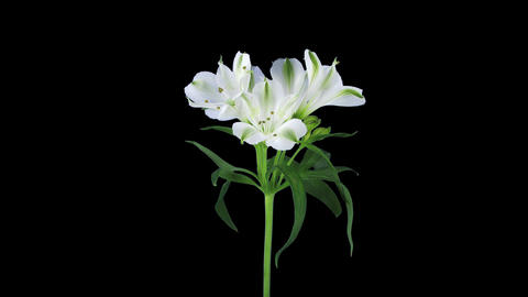 Growing, opening and rotating white Peruvian lily 1b1 with ALPHA channel Footage