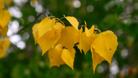 Birch branch with yellow leaves swaying in the wind autumn day Footage