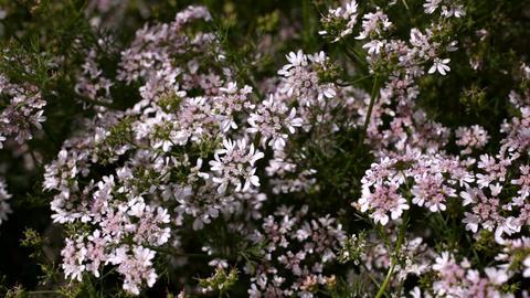 Flowering coriander Image